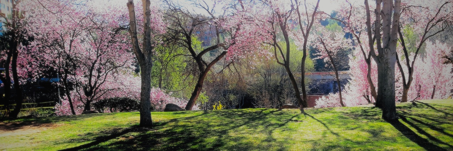 Cherry blossoms in a park setting