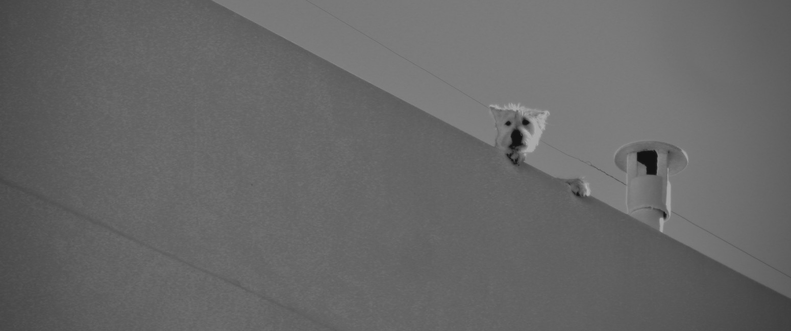 Dog looking down from a roof
