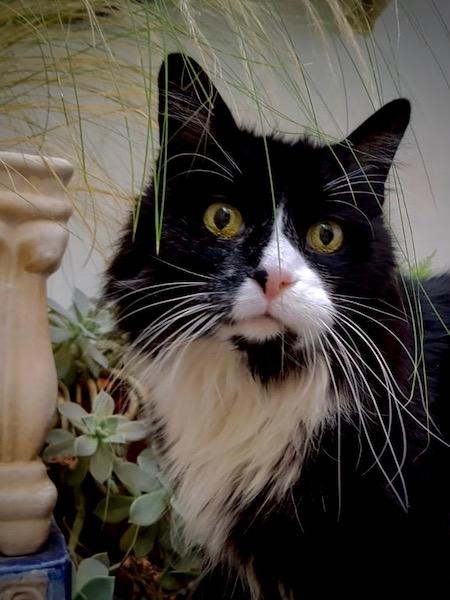 Head shot of a black and ehite cat named Ricco