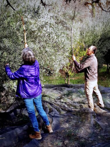 harvesting olives in the alpujarra region of spain