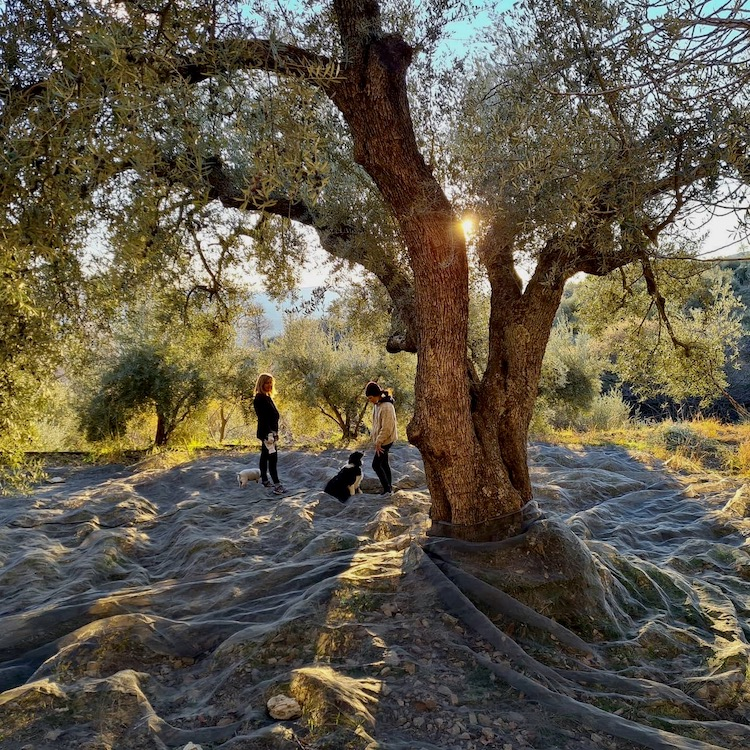"Featured image for ""Olive Harvest in the Alpujarra"""
